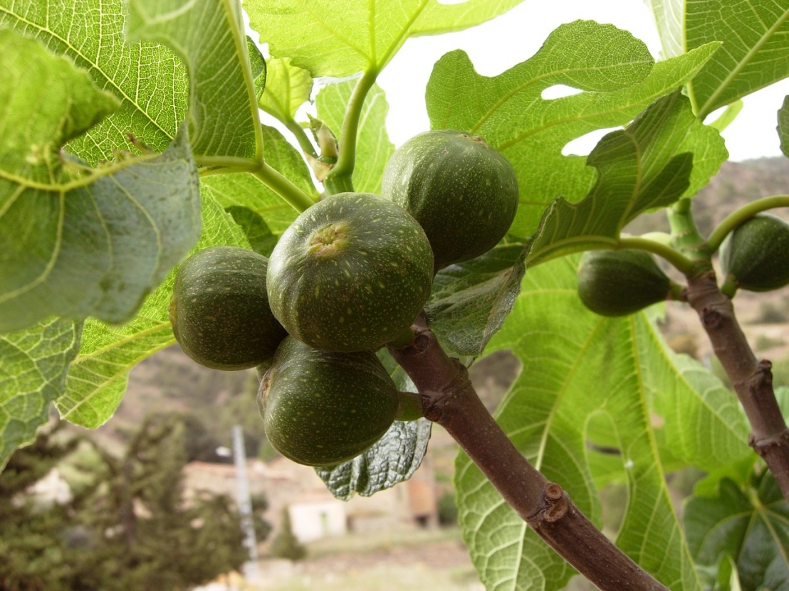 figs-2071408_1280