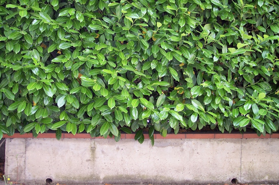hedge-97493_1280