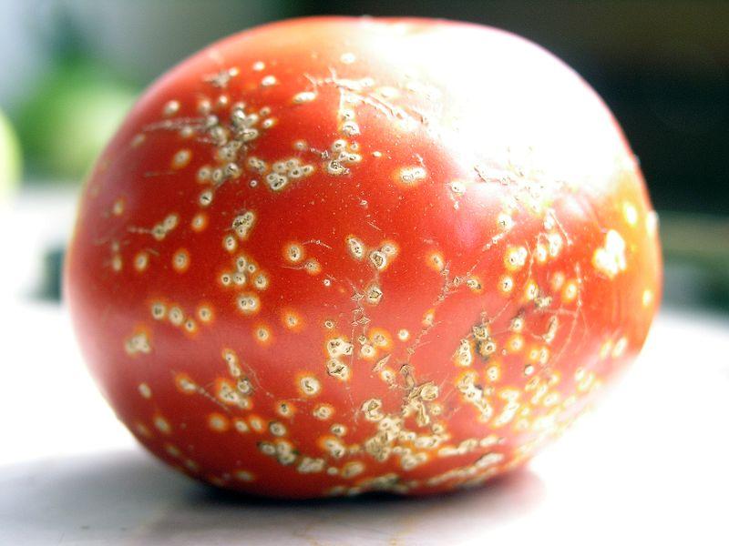 Quelles sont les maladies des tomates?