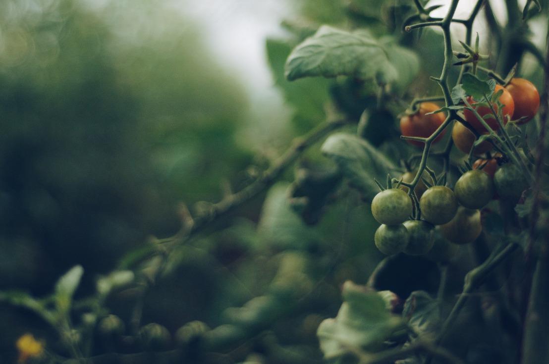 tomato-4474174_1920