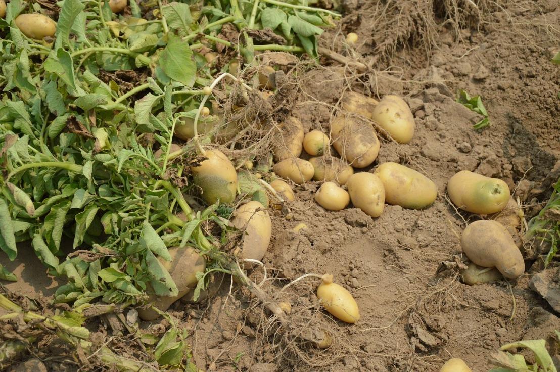potato-373822_1280(1)